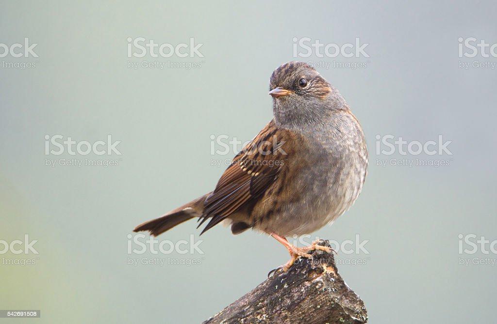 Small songbird Dunnock (Prunella modularis) stock photo
