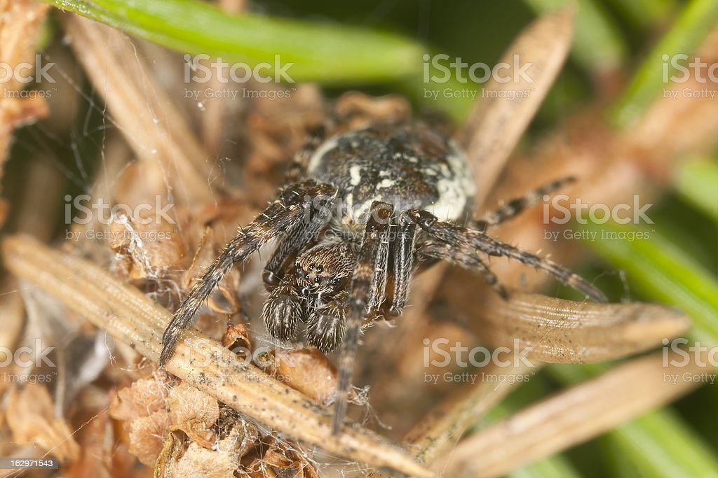 Small spider among fir needles, extreme close-up royalty-free stock photo