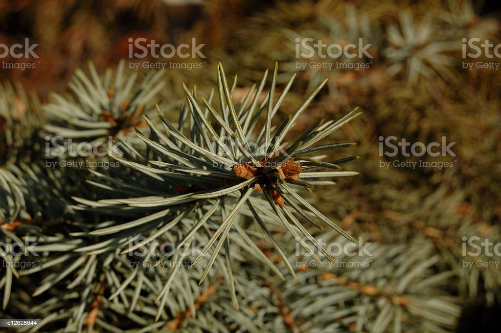 small sprig of fir stock photo