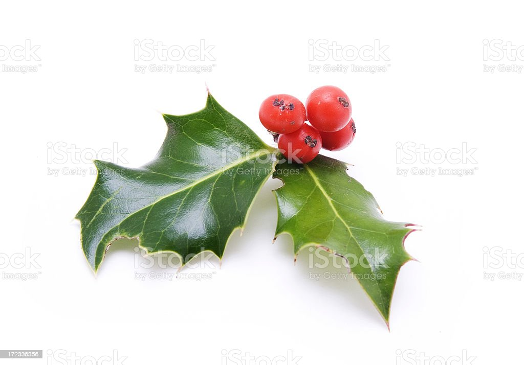 Small Sprig of Holly Berries and Leaves royalty-free stock photo
