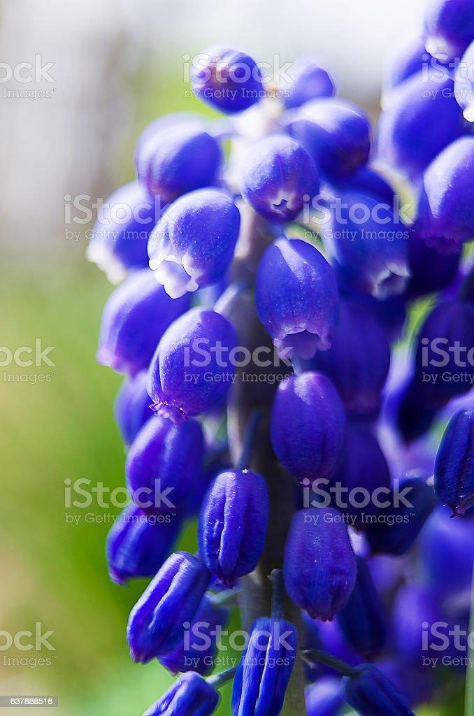 Small spring flowers muskari stock photo