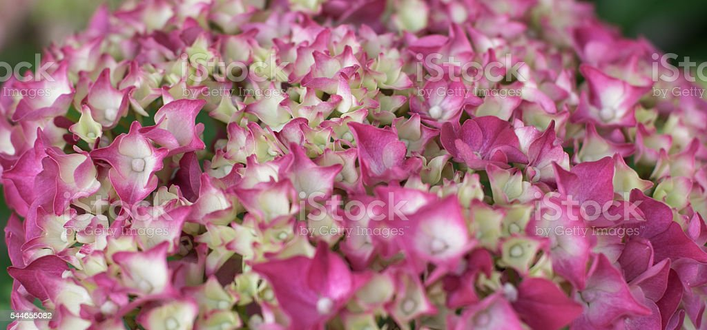 small spring pink flowers of hydrangea stock photo