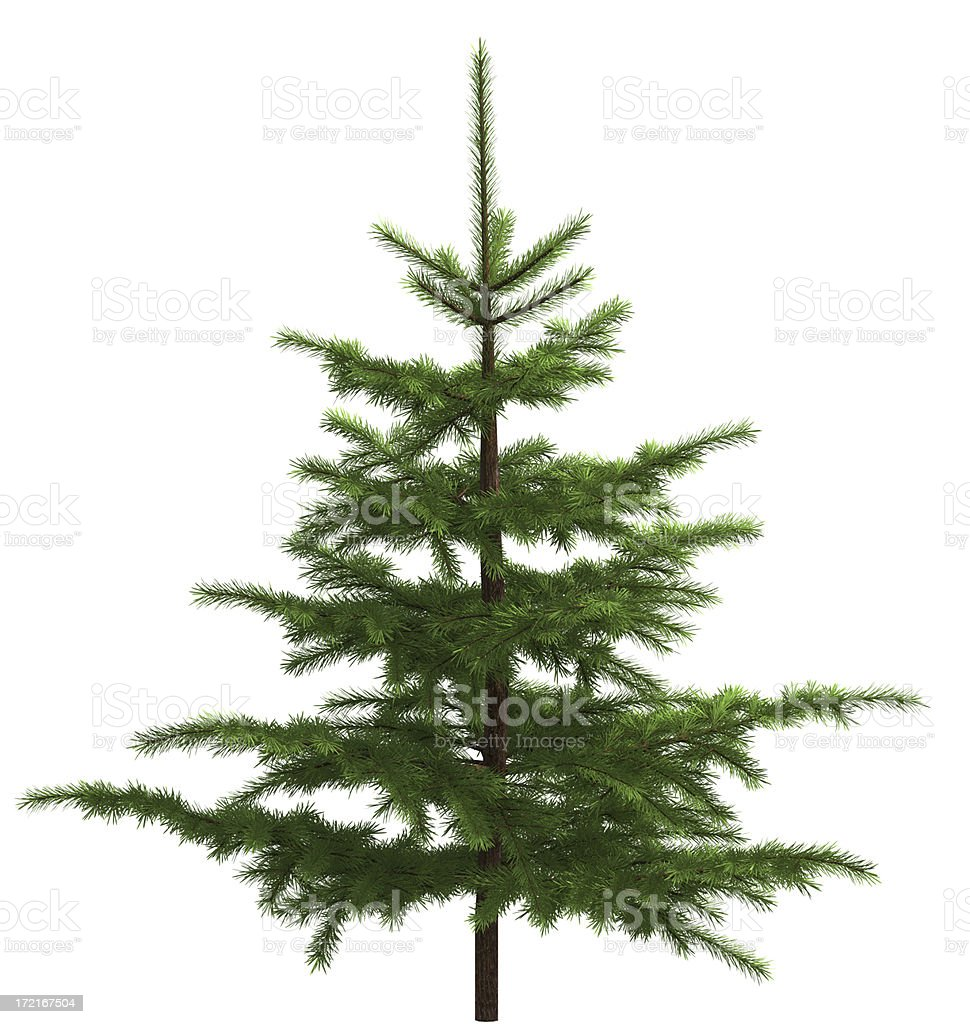 Small spruce royalty-free stock photo