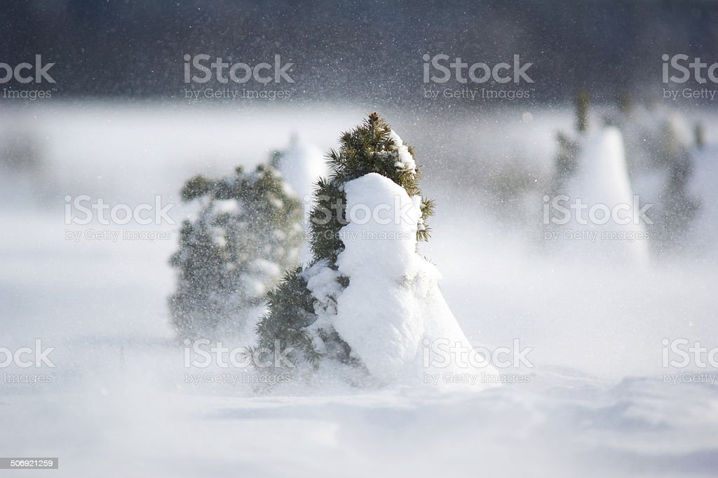 Small spruces in snow storm stock photo
