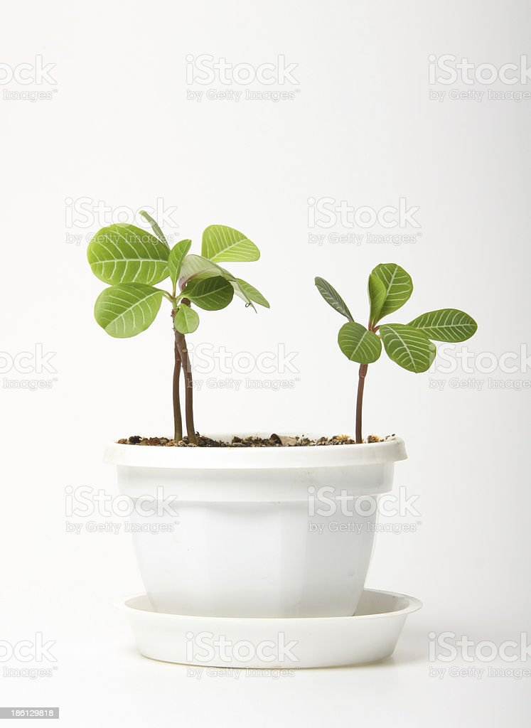 small spurge in a pot, isolated royalty-free stock photo
