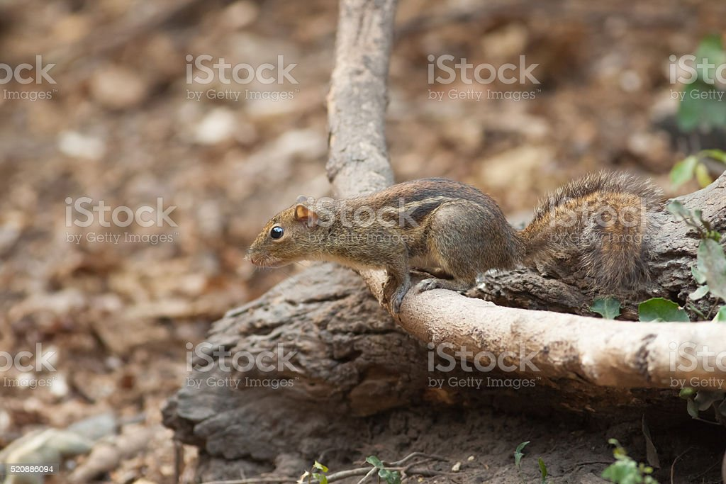 Small squirrel on creeping plant royalty-free stock photo