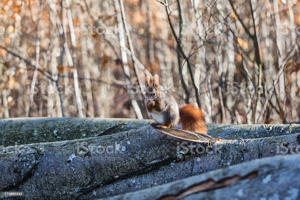 Small squirrel royalty-free stock photo