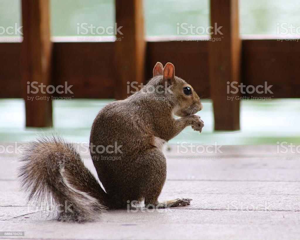 Small squirrel sitting in profile photo libre de droits