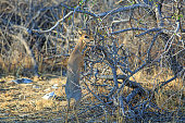 Small Steenbok standing on hind legs while browsing