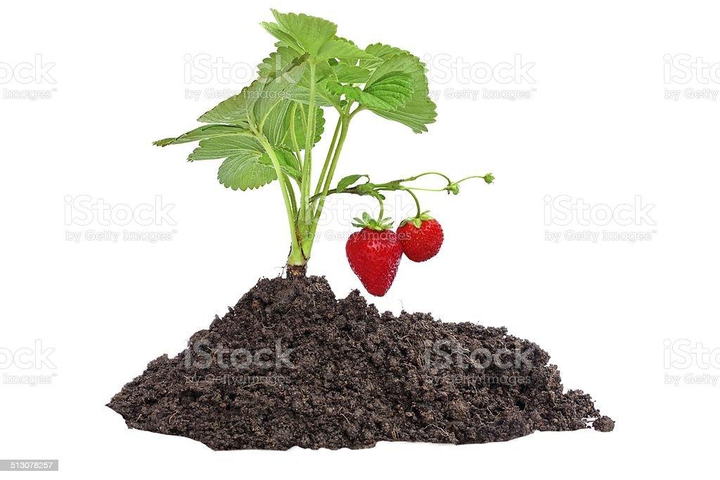 Small Strawberry Bush on earth stock photo