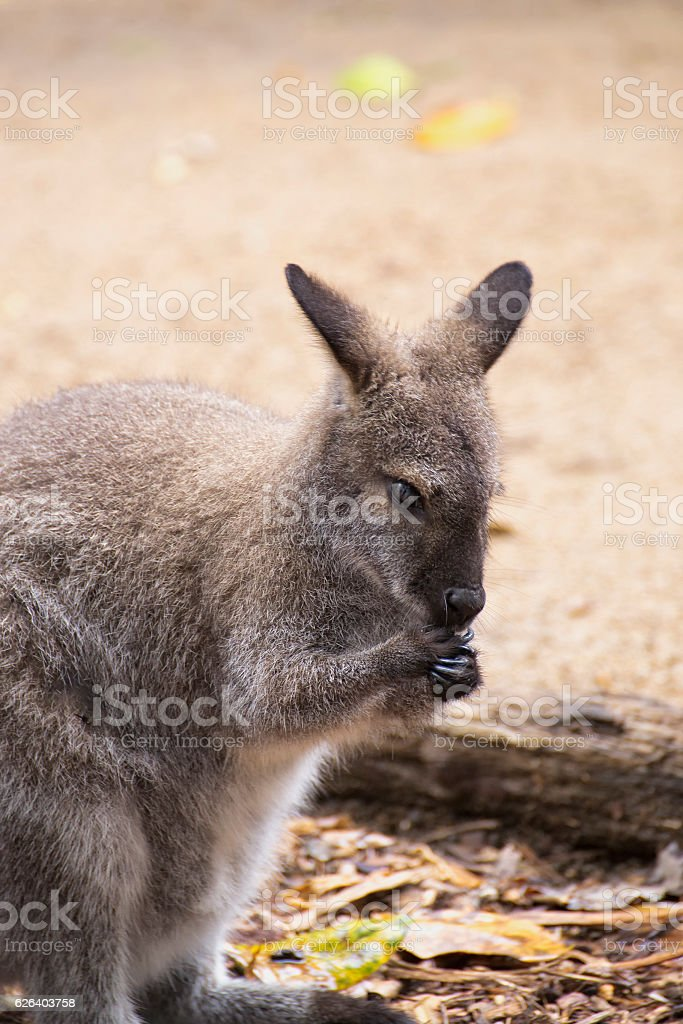 Small Swamp Wallaby stock photo