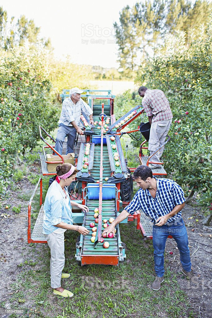 Small team picking apples in the orchard stock photo