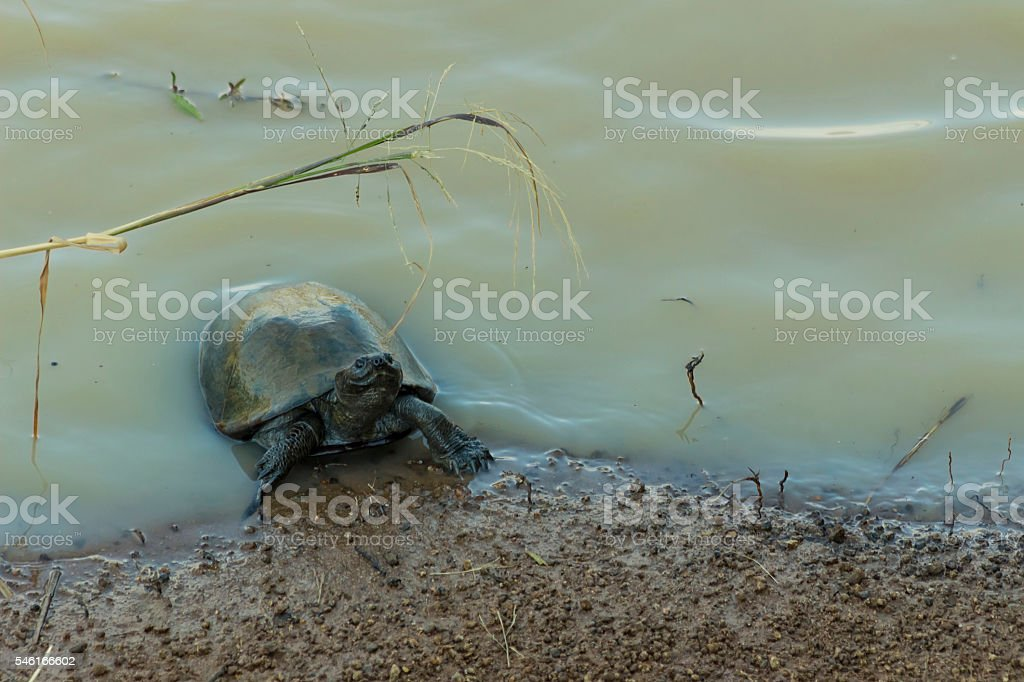 Small terrapin in dirty water stock photo
