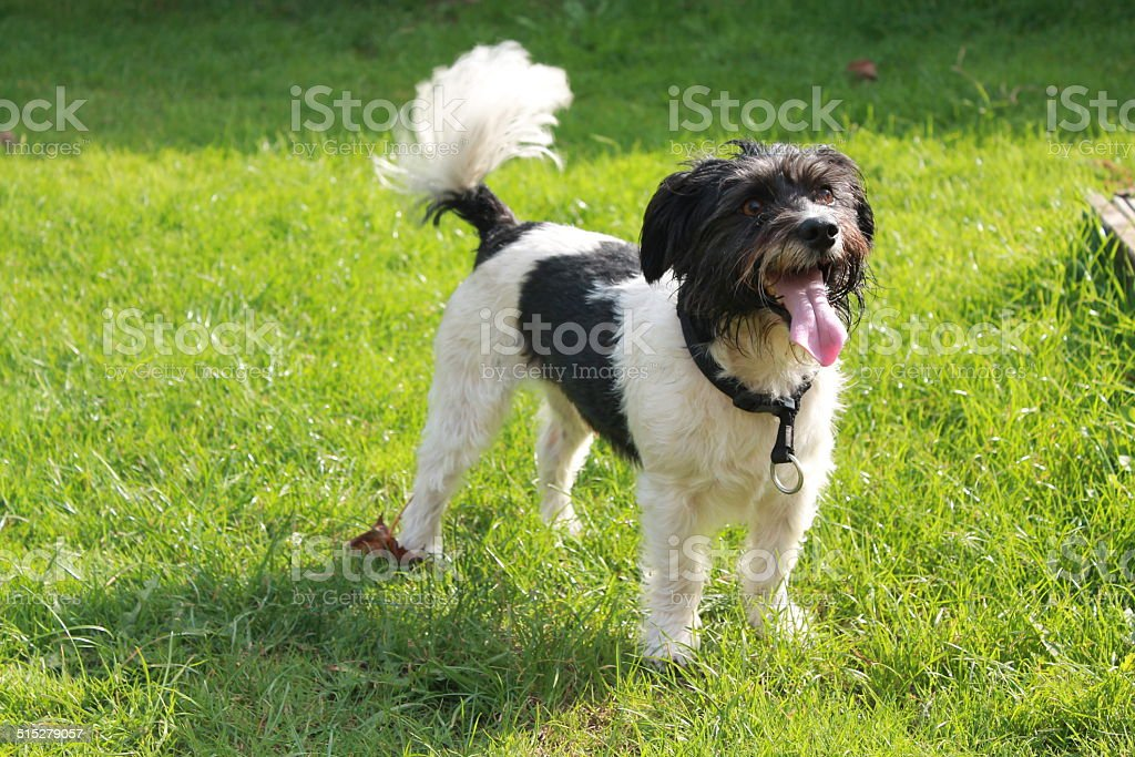 Small Terrier stock photo