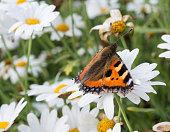Small Tortoiseshell Butterfly on a Daisy