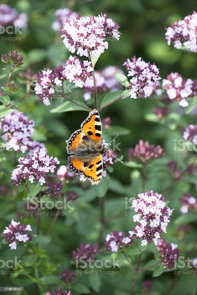 Small Tortoiseshell Butterfly on Herb Oregano flowers. royalty-free stock photo