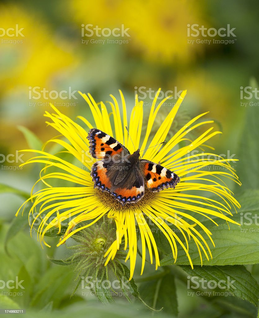 Small Tortoiseshell Butterfly on Inula Flower (Aglais urticae ). royalty-free stock photo