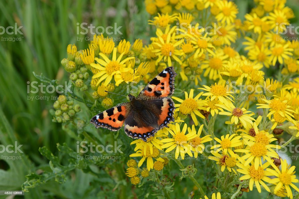 Small Tortoiseshell Butterfly on Yellow Ragwort stock photo
