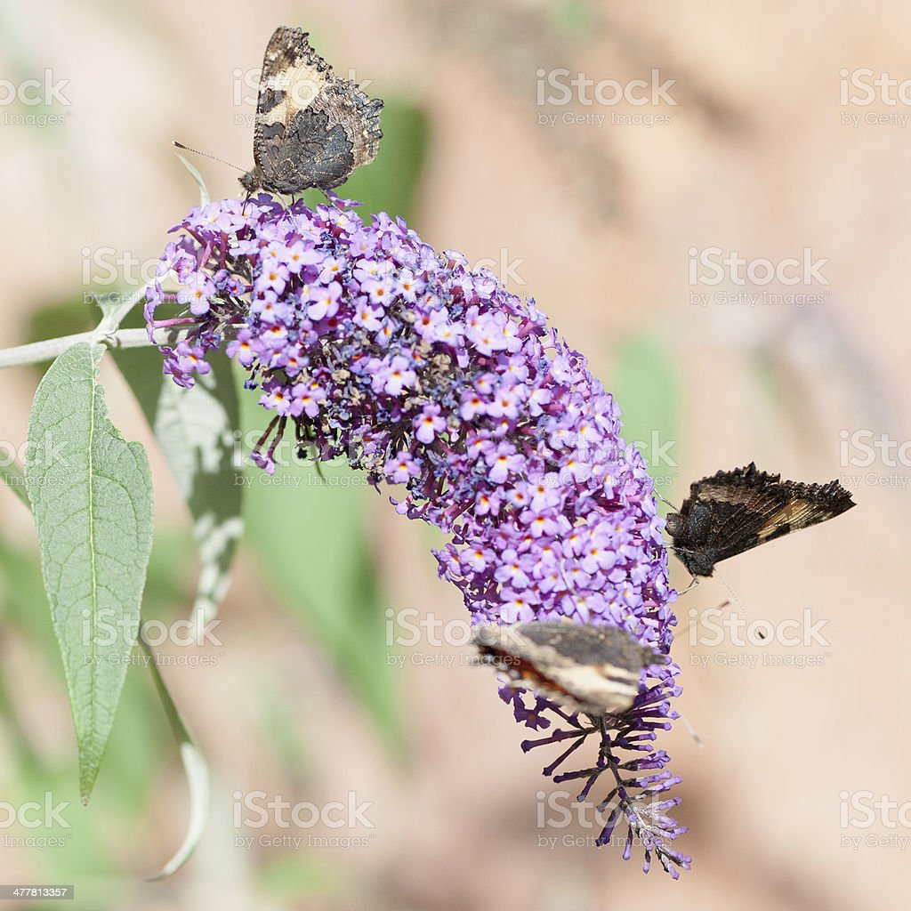 small tortoiseshell butterfly royalty-free stock photo