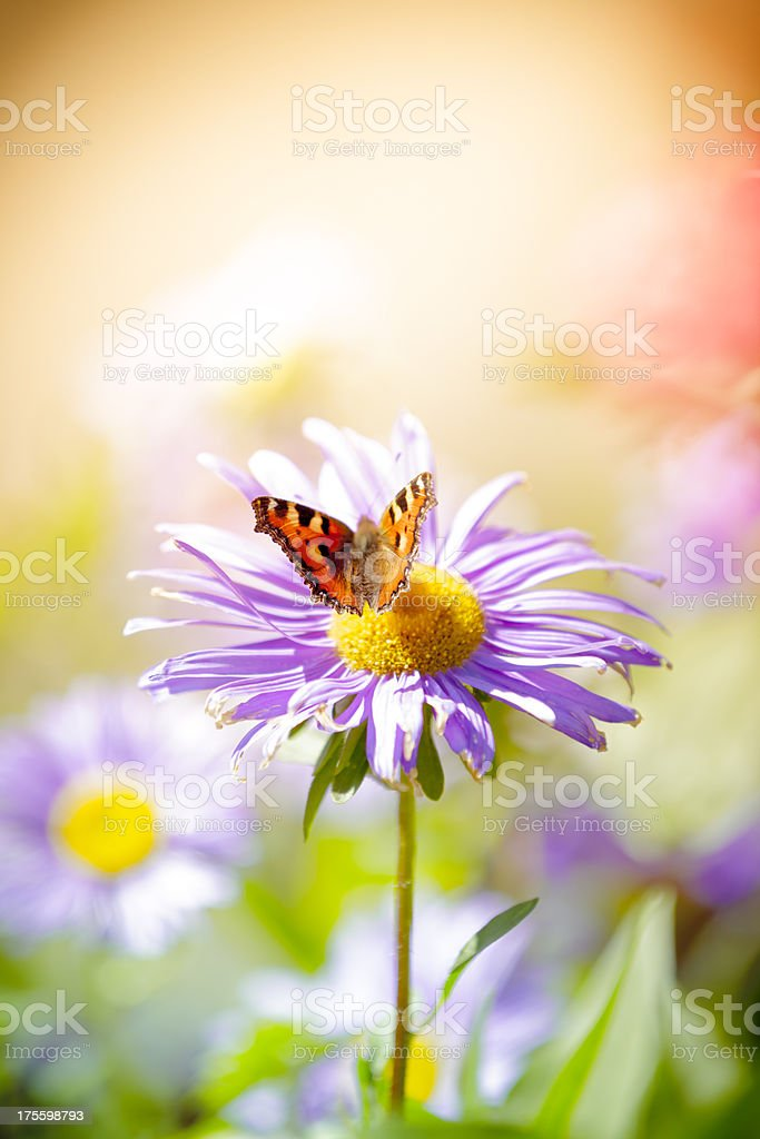 Small Tortoiseshell butterfly pollinating daisy flower in meadow royalty-free stock photo