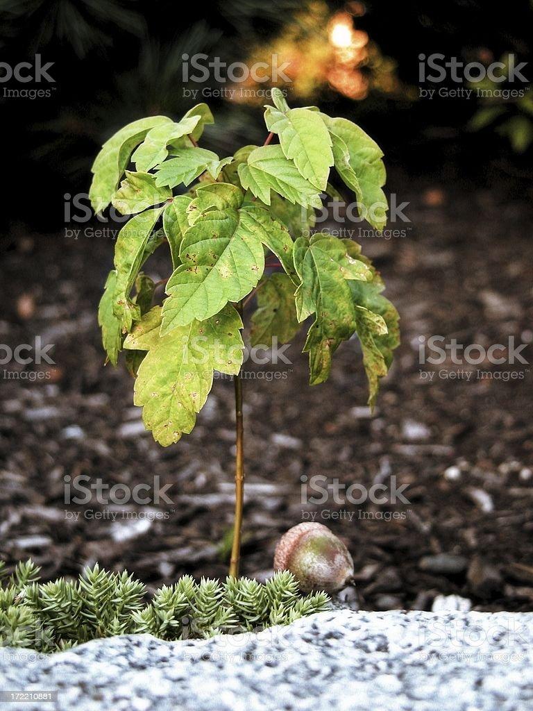 Small tree and acorn royalty-free stock photo