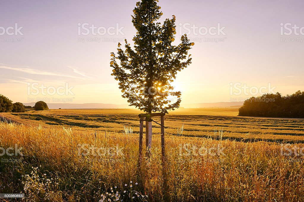 Small tree at sunset with purple sky royalty-free stock photo