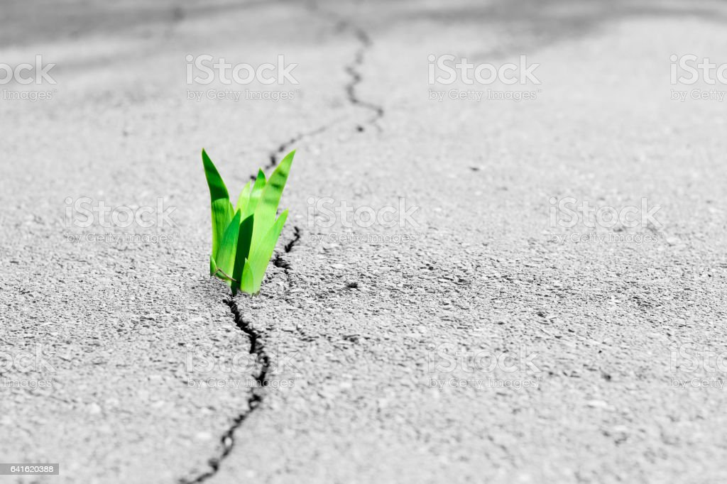 Small tree breaks through the pavement. Green sprout of a plant makes the way through a crack asphalt. stock photo