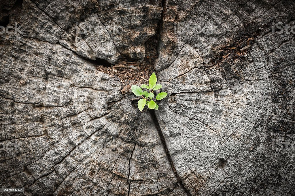 Small tree grows from dying wood stock photo