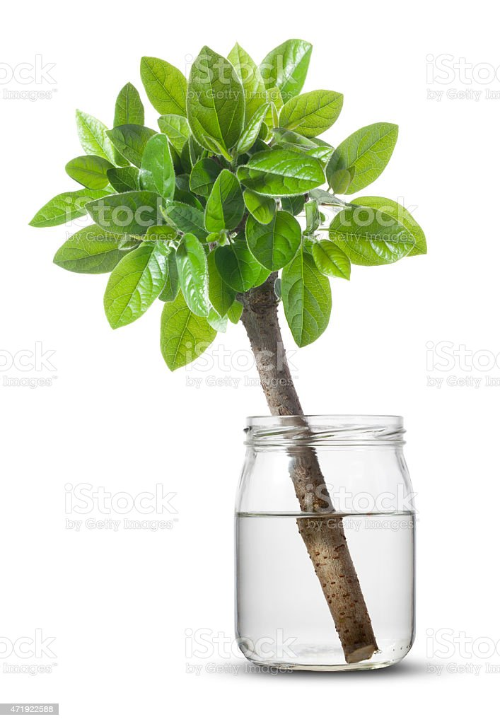 Small tree in glass jar stock photo