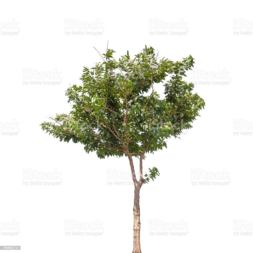 Small tree isolated on white background stock photo