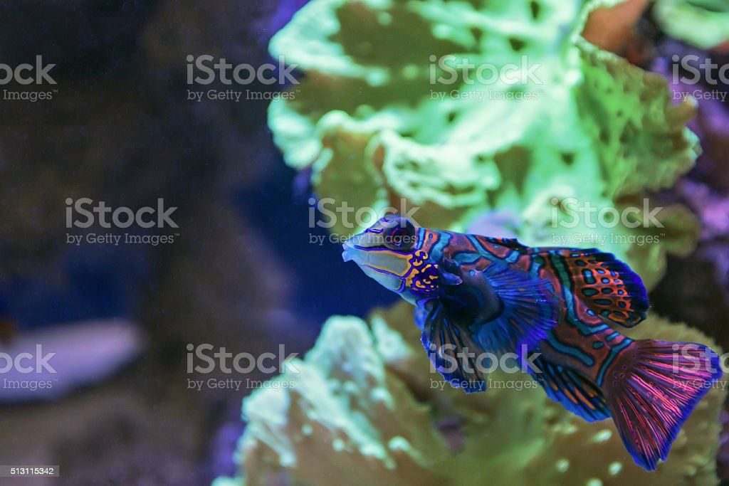 Small tropical fish Mandarinfish stock photo