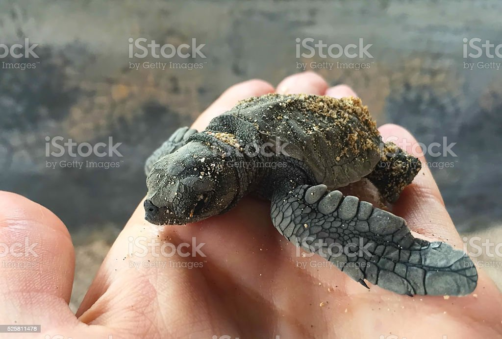 Small turtle in human hand, olive ridley sea turtle stock photo