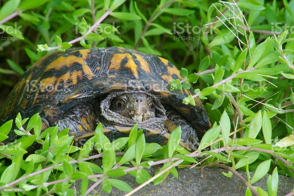 Small turtle peeks out of his shell surrounded with greenery. stock photo