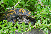 Small turtle peeks out of his shell surrounded with greenery.