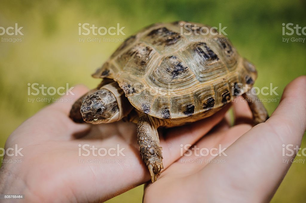 Small turtle, pet in  hands of girls stock photo