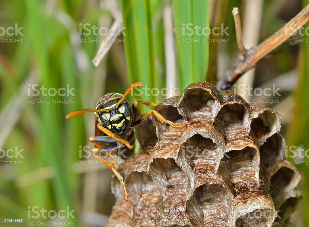 Small wasp stock photo