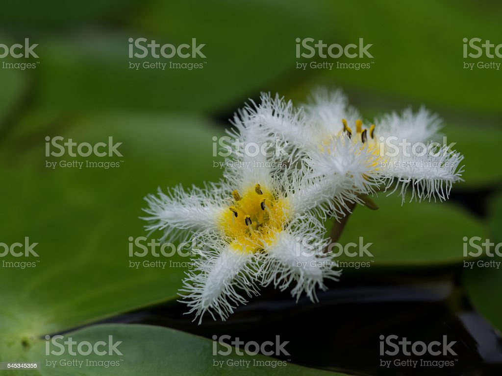 Small waterweed _ Nymphoides indica stock photo