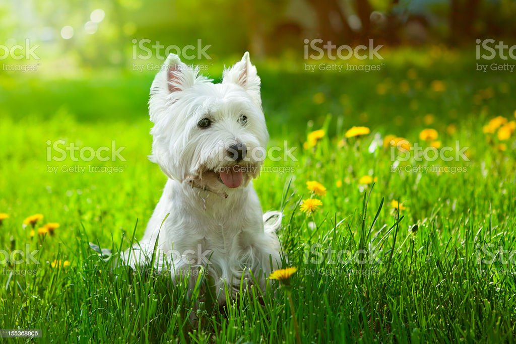 Small Westie in a field of yellow flowers stock photo