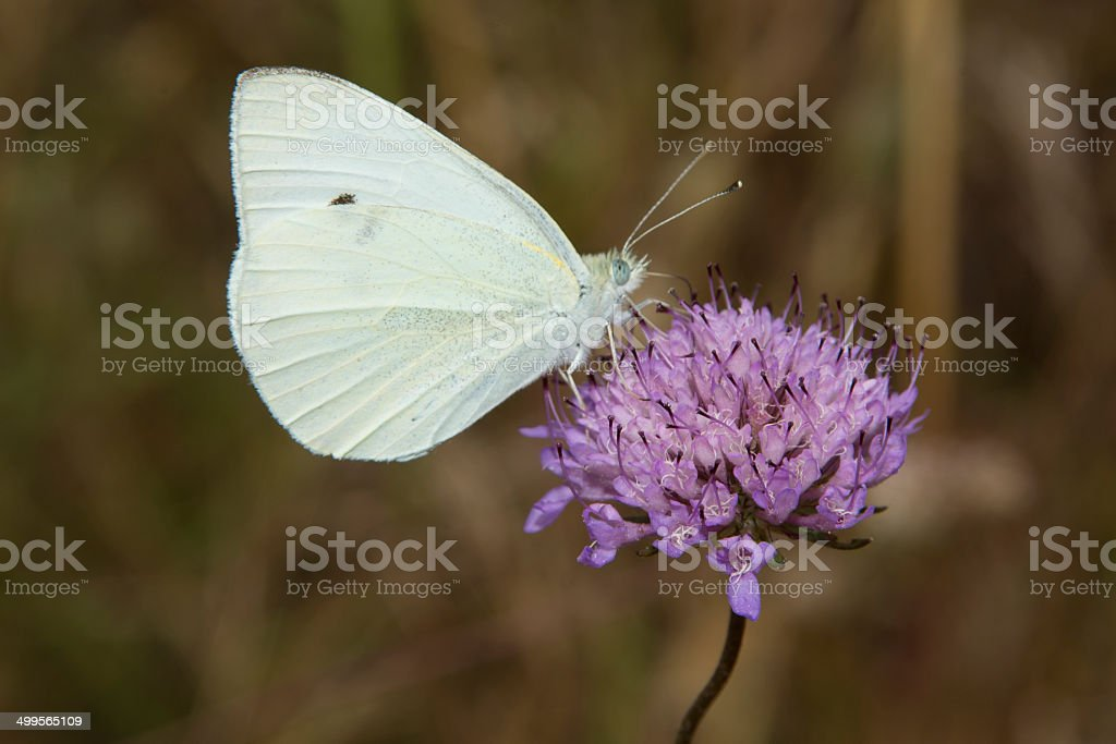 Small White butterfly on Scabious royalty-free stock photo