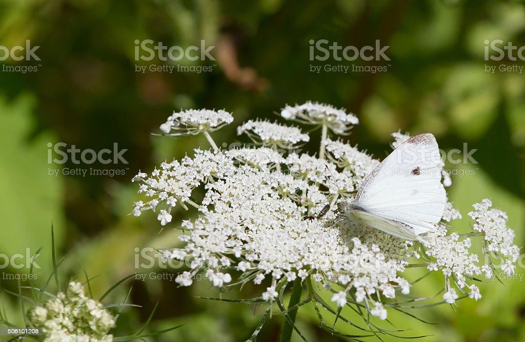 Small White Butterfly (Pieris rapae) stock photo