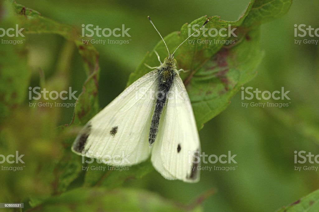 Small White Butterfly with open wings stock photo