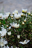 Small white chrysanthemum flower in a park