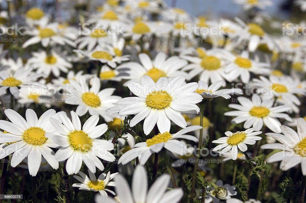 Pequeña daisies blanco foto de stock libre de derechos