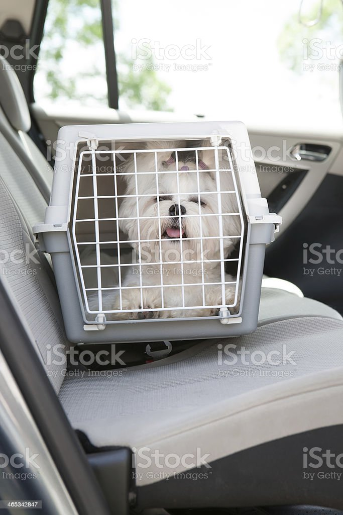 Small white dog inside a carrier in the car stock photo