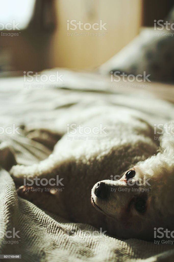 Small White Dog laying down sideways on a Bed stock photo
