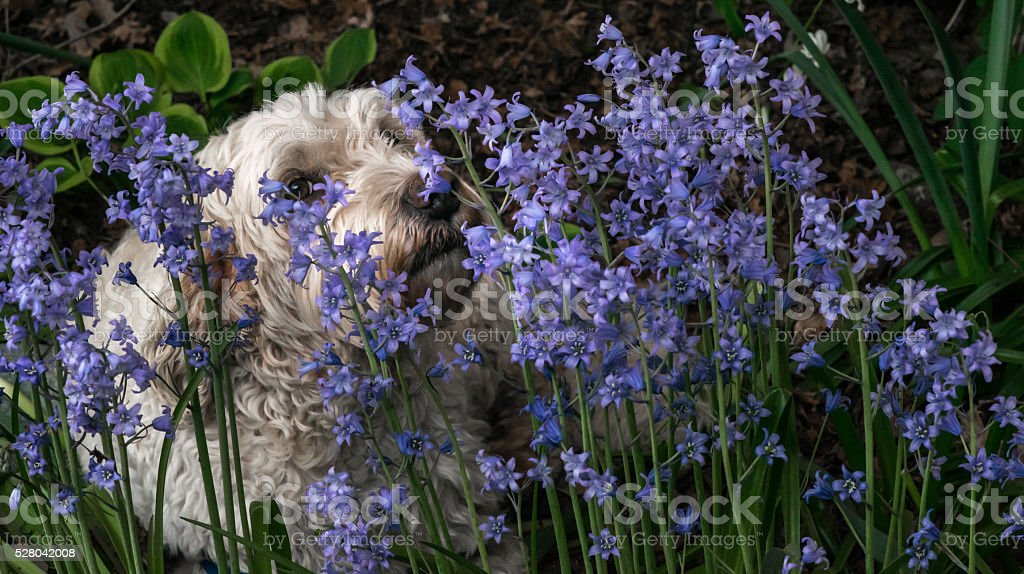 small white dog smelling flowers in a garden stock photo