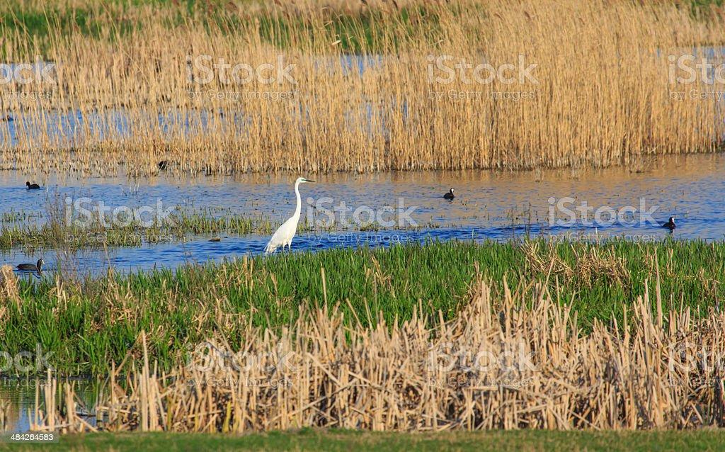Small white egret stock photo