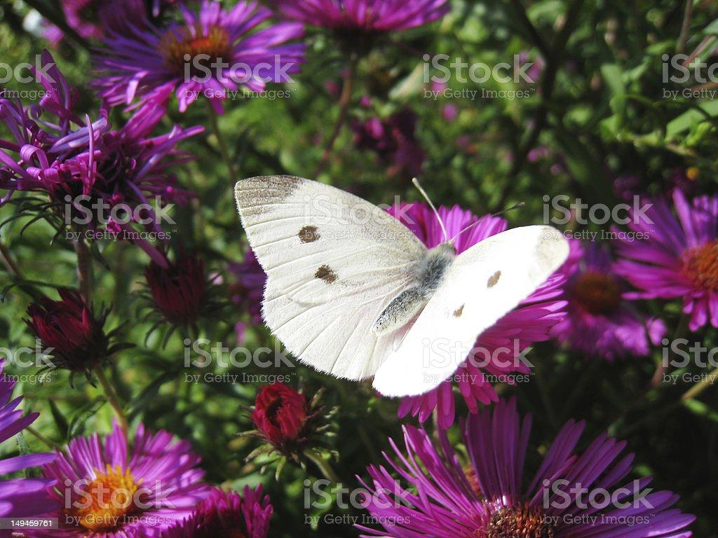 Small White (Pieris rapae), female stock photo