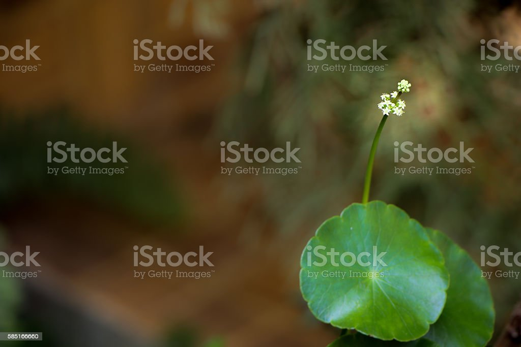 small white flower of Gotu kola tre stock photo