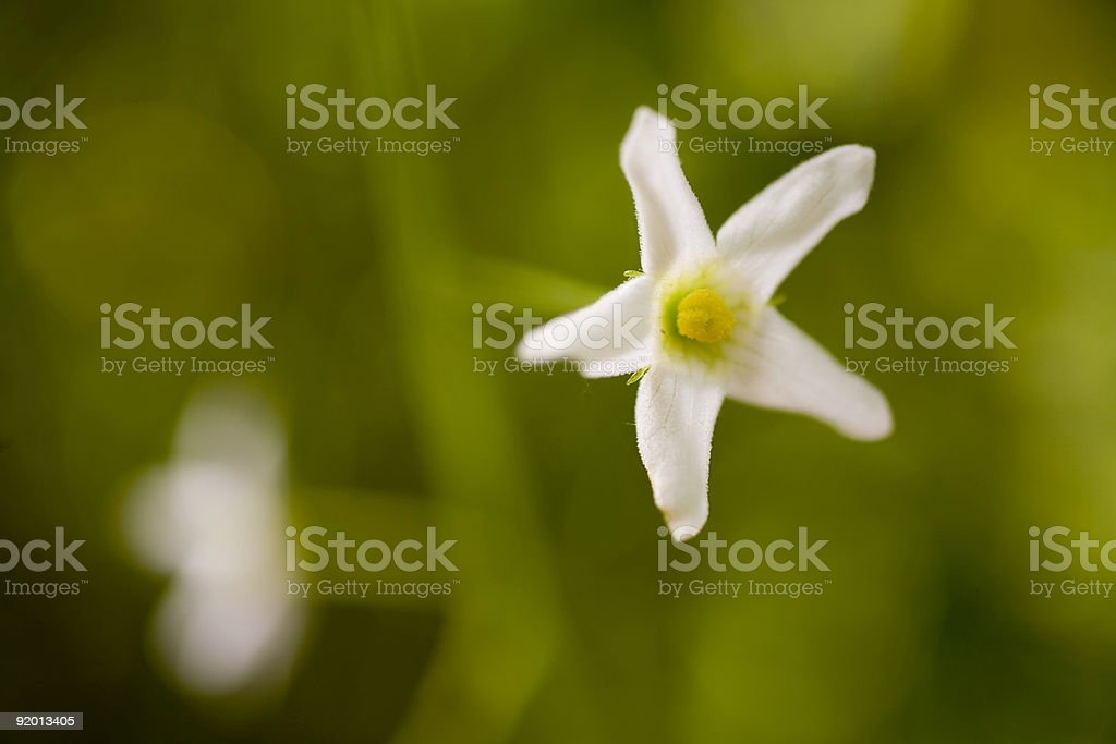Small White Flower on Green Background royalty-free stock photo